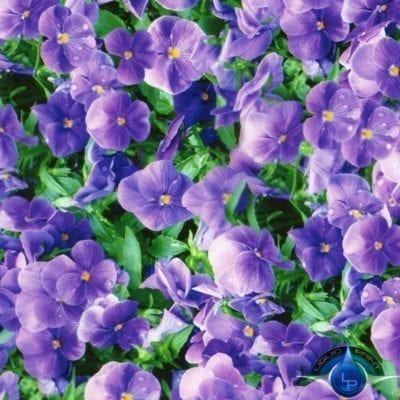 Purple Flowers Film-LL-416